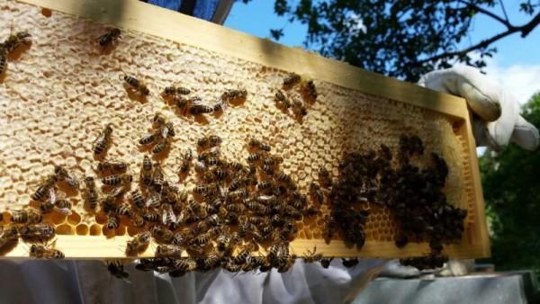 Bienen-1-1
